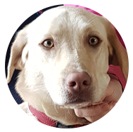 Caramello is a Golden Labrador who has experience working in organisations such as Headspace, GP clinics, hospitals as well as M-Ocean Psychology, Rachel Meadows private practice.